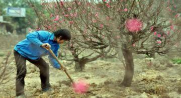 Đào được giá, chủ vườn vẫn kém vui