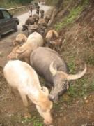 Gần 9.500 con trâu bò chết rét