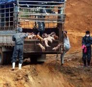 Hàn Quốc đối phó với dịch lở mồm long móng nghiêm trọng nhất