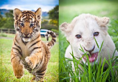 Hổ và sư tử đi chăn cừu