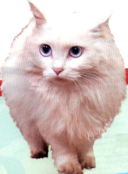 Mèo trắng mắt xanh thường bị điếc