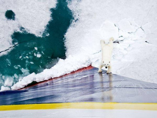 Một con gấu Bắc cực tò mò tới gần con tàu thám hiểm Lindblad Expeditions của National Geographic ở Svalbard, Na Uy - Ảnh: Michael Nolan.