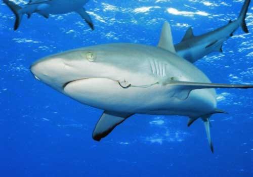 Phát hiện mới: Cá mập bị mù màu