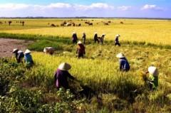 Tác động của biến đổi khí hậu trên vựa lúa