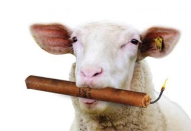 Cho cừu ăn cỏ nhiễm thuốc nổ TNT để làm sạch đất