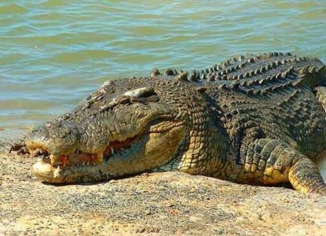 Chuyện thật: Điện thoại reo trong bụng cá sấu