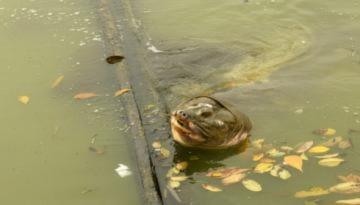 'Cụ rùa hồ Gươm đang suy giảm sức khỏe'