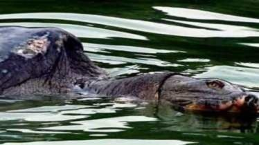 Cụ rùa hồ Gươm lại nổi với đầy thương tích