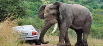 Thoát chết trong chiếc xe bị voi lật ngửa