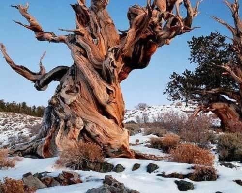 10 loài cây nghìn tuổi