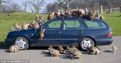 100 con khỉ được tặng xe hơi