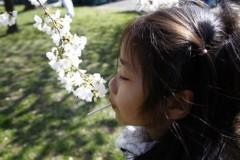 Bé gái Việt giữa rừng hoa anh đào ở Washington DC