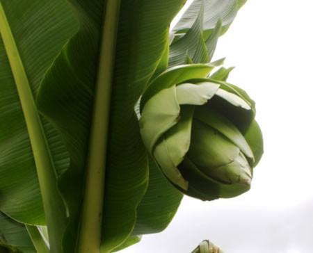 Cây chuối lạ nở hoa xanh khổng lồ ở Đà Lạt