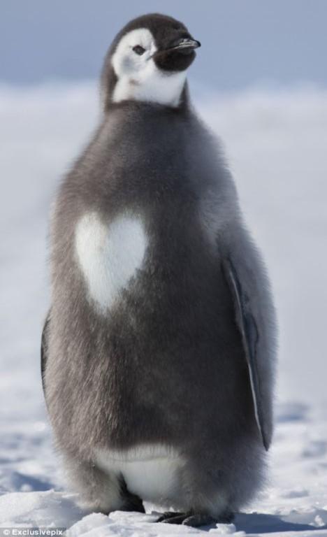 Chim cánh cụt có lông ngực hình… trái tim