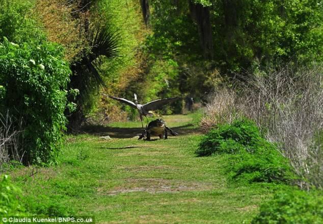 Chim diệc bị tấn công vì ... 'trộm' con của cá sấu