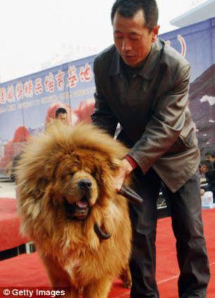 Chú chó giá 31 tỉ đồng, Phi thường - kỳ quặc, cho dat nhat the gioi, chuyen la, ky luc, cho tay tang, tay tang