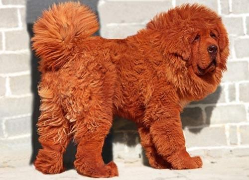 Chú chó giá 31 tỉ đồng