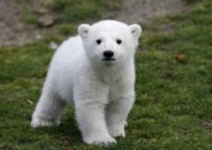 Chú gấu bắc cực nổi tiếng thế giới qua đời