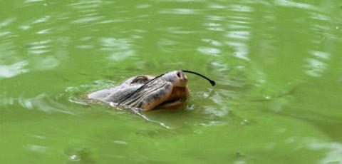 Chùm ảnh: Cụ Rùa lại cố gắng bò lên bờ, Tin tức trong ngày, Rua ho guom, cu rua, rua noi, len len bo, nang am