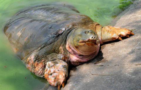 Chùm ảnh: Cụ Rùa lại cố gắng bò lên bờ