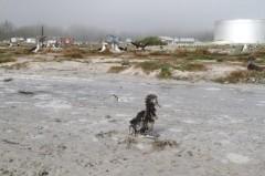 Hàng nghìn chim biển chết vì sóng thần ở Mỹ