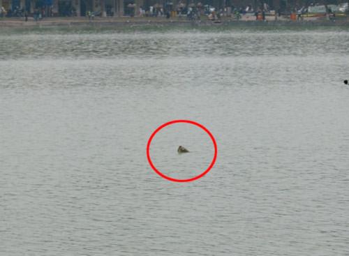 Hồ Gươm có hơn 2 Cụ Rùa? Ảnh: Hữu Việt