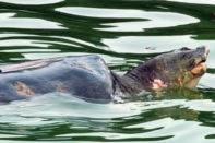 Khuyến cáo mới cho việc bắt lại rùa hồ Gươm