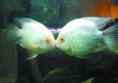 Kỳ lạ đôi cá đắm đuối hôn nhau liên tục
