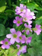 Lung linh chùm hoa đồng nội