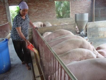 Ngành chăn nuôi sẽ phải đối mặt với nhiều khó khăn khi tỷ giá tăng. Ảnh: N.Lê