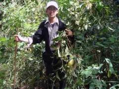 Phát hiện loài cây chữa bệnh ung thư