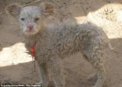 Quái lạ: Cừu sinh ra chó