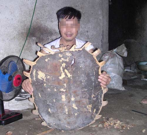 Sức mạnh phi thường của Rùa khổng lồ, Tin tức trong ngày, Cu rua, rua khong lo, rua hoa guom, bat rua, trau mong