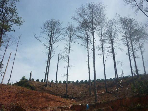 Thông bị đầu độc, Lâm Đồng lệnh ngừng cho thuê đất rừng
