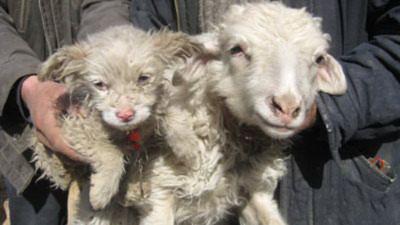 Hai mẹ con cừu và chó của anh Liu. Ảnh: Orange.