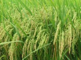 Thuốc từ cây lúa