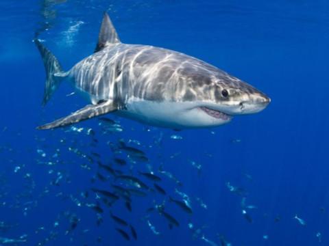 Cá mập trắng khổng lồ