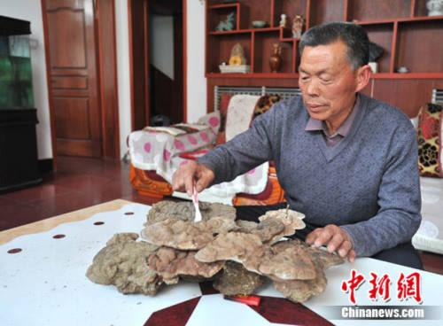 Đào được nấm linh chi 100 năm tuổi nặng 20 kg
