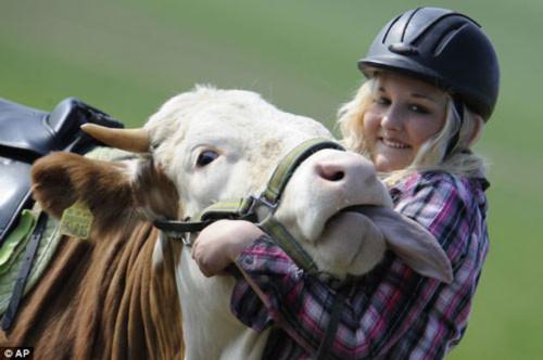Bò được huấn luyện thành ngựa