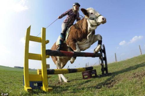 Bò được huấn luyện thành...ngựa