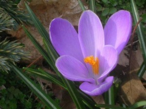 Câu chuyện về bông hoa sen Lily