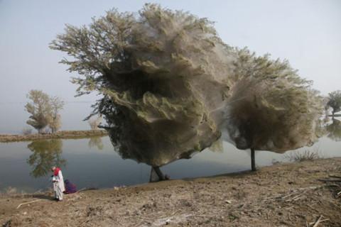 'Cây mạng nhện' tại Pakistan
