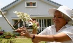 Cây phượng trắng duy nhất ở Việt Nam được nhân giống