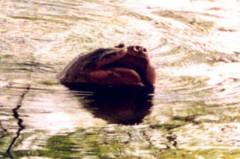 """Có """"Tam đại"""" nhà Rùa ở Hồ Gươm?"""