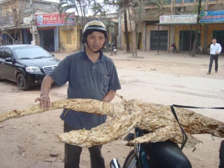 Củ sắn dây khổng lồ nặng 45kg