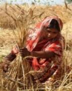 Hàng triệu người châu Á có thể tái nghèo sốt giá lương thực