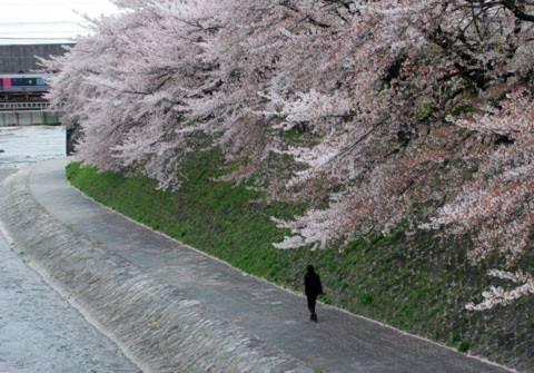 Hoa anh đào bên sông ở cố đo Kyoto của Nhật, năm ngoái. Ảnh: Thảo Nguyên.