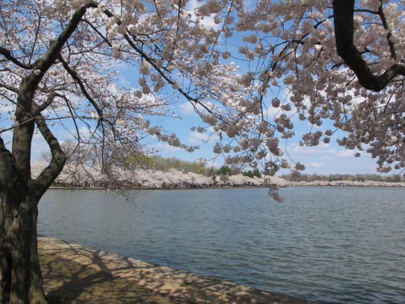 Nhưng hoa bên bờ hồ nhân tạo Basin Tidal là nhiều, đẹp hơn, lại có một lịch sử rất đẹp