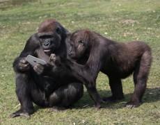 Khỉ đột cũng mê iPad