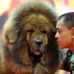 Loài chó triệu đô xuất hiện ở Hà Nội